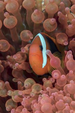 Indonesia, West Papua, Raja Ampat. Clown Fish Among Anemones by Jaynes Gallery