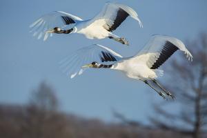 Japan, Hokkaido. Japanese cranes flying. by Jaynes Gallery