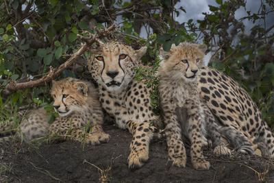 Kenya, Masai Mara National Reserve. Mother cheetah and cubs.