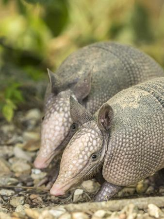 Louisiana, Lake Martin. Two Nine-Banded Armadillo Young by Jaynes Gallery