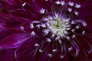 Maine, Harpswell. Purple Dahlia Detail by Jaynes Gallery