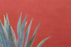 Mexico, San Miguel De Allende. Agave Plant Next to Colorful Wall by Jaynes Gallery