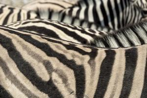 Namibia, Etosha National Park. Close-up of zebras. by Jaynes Gallery
