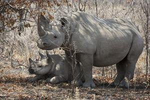 Namibia, Etosha National Park. Mother Rhinoceros and Baby in Shade by Jaynes Gallery