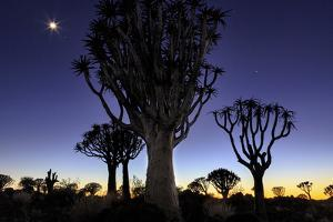 Namibia, Keetmanshoop. Quiver tree Forest at sunrise. by Jaynes Gallery