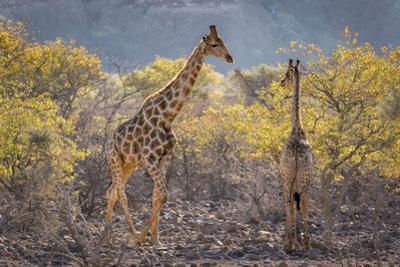 Namibia, Twyfelfontein. Three giraffes amidst acacia trees.