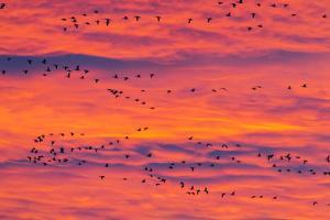 New Mexico, Bosque Del Apache National Wildlife Refuge. Snow Geese Flying at Sunrise by Jaynes Gallery