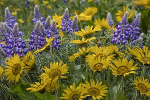 Oregon, Tom Mccall Nature Conservancy. Balsamroot and Lupine Flowers Close-Up by Jaynes Gallery