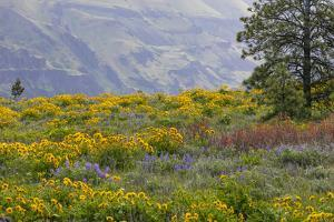 Oregon, Tom Mccall Nature Conservancy. Balsamroot and Lupine Flowers in Meadow by Jaynes Gallery