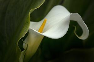 Pennsylvania. Calla Lily Close-Up by Jaynes Gallery