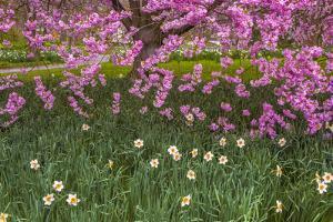 Pennsylvania, Wayne, Chanticleer Garden. Cherry Blossom Tree in Garden by Jaynes Gallery