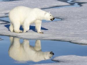Polar Bear Reflected in Pool as it Walks across Ice, Svalbard, Norway by Jaynes Gallery