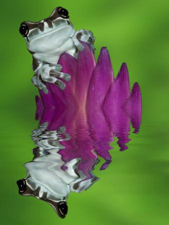 South America, Panama. Amazon milk frog reflects in water. by Jaynes Gallery