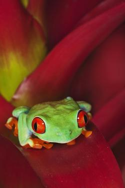 South America, Panama. Red-eyed tree frog on bromeliad flower. by Jaynes Gallery