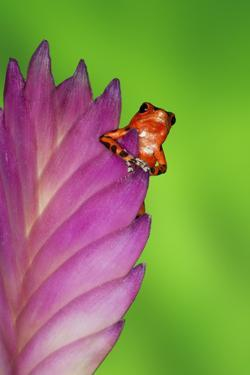 South America, Panama. Strawberry poison dart frog on bromeliad flower. by Jaynes Gallery