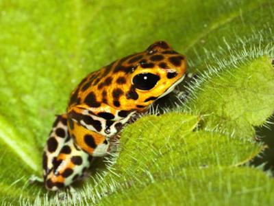 South America, Panama. Yellow form of poison dart frog on spiny plant. by Jaynes Gallery