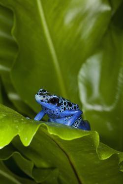 South America, Suriname. Blue dart frog on leaf. by Jaynes Gallery
