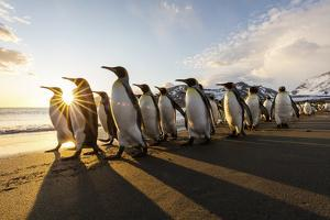 South Georgia Island, St. Andrew's Bay. King penguins walk on beach at sunrise. by Jaynes Gallery