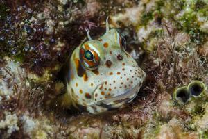 South Pacific, Solomon Islands. Redspotted blenny fish amid coral. by Jaynes Gallery