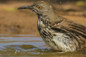Texas, Hidalgo County. Curve-Billed Thrasher Bathing by Jaynes Gallery