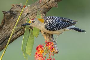 Texas, Hidalgo County. Golden-Fronted Woodpecker on Log by Jaynes Gallery
