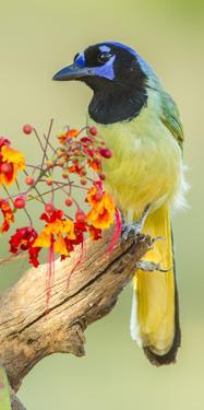 Texas, Hidalgo County. Green Jay on Log by Jaynes Gallery