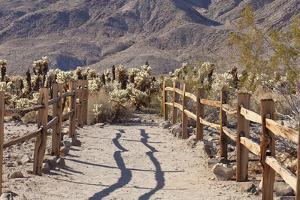 Trail into the Cholla Cactus Garden, Joshua Tree NP, California, USA by Jaynes Gallery