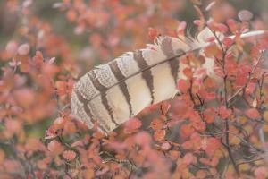 USA, Alaska, Brooks Range. Owl feather caught in dwarf birch. by Jaynes Gallery