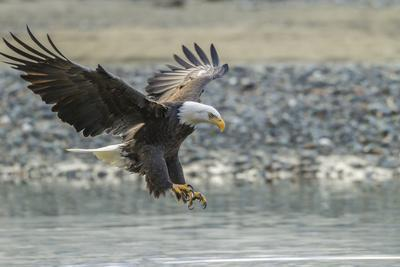 USA, Alaska, Chilkat Bald Eagle Preserve, bald eagle, landing