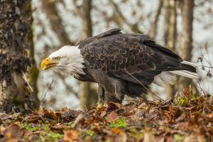 USA, Alaska, Chilkat Bald Eagle Preserve. Bald eagle on ground. by Jaynes Gallery