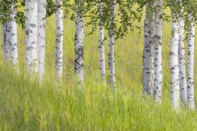 USA, Alaska. Paper birch trees and grass. by Jaynes Gallery