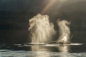 USA, Alaska, Tongass National Forest. Humpback whales spout on surface. by Jaynes Gallery