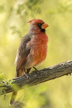 USA, Arizona, Arizona-Sonora Desert Museum. Cardinal-pyrrhuloxia hybrid bird. by Jaynes Gallery