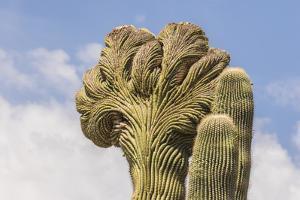 USA, Arizona, Desert Botanic Garden. Cristate saguaro cactus. by Jaynes Gallery