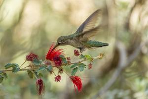 USA, Arizona, Desert Botanic Garden. Hummingbird feeding on bottlebrush flower. by Jaynes Gallery