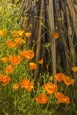 USA, Arizona, Peridot Mesa. California poppies in bloom by Jaynes Gallery