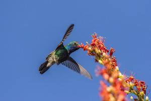 USA, Arizona, Sabino Canyon. Male broad-billed hummingbird feeding on ocotillo blossoms. by Jaynes Gallery