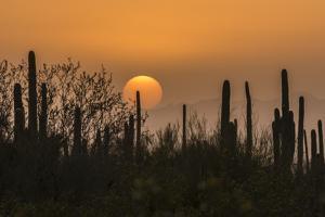USA, Arizona, Saguaro National Park. Saguaro cactus at sunset. by Jaynes Gallery