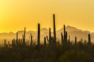 USA, Arizona, Saguaro National Park. Sonoran Desert at sunset. by Jaynes Gallery