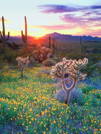 USA, Arizona, Wildflowers and Cacti in Organ Pipe Cactus by Jaynes Gallery