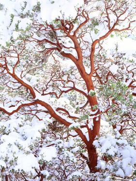 USA, California. a Snow-Covered Manzanita Bush by Jaynes Gallery