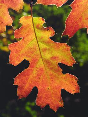 USA, California, an Oak Leaf in Six Rivers National Forrest by Jaynes Gallery