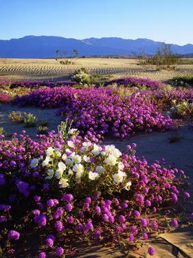 USA, California, Anza-Borrego Desert Sp. Desert Poppy Wildflowers by Jaynes Gallery