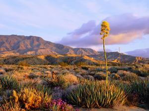 USA, California, Anza-Borrego Desert State Park. Agave Wildflowers by Jaynes Gallery
