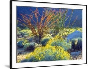 USA, California, Anza-Borrego Desert State Park. Blooming Ocotillo by Jaynes Gallery