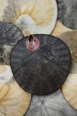 USA, California. Barnacle and sand dollars on beach. by Jaynes Gallery