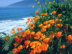 USA, California, California Poppies Along the Pacific Coast by Jaynes Gallery