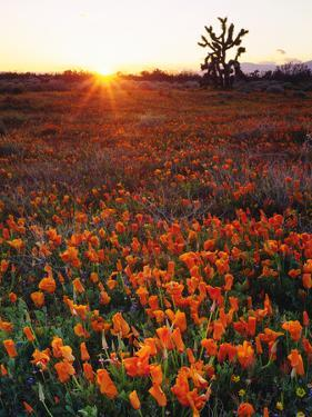 USA, California, California Poppies and Joshua Tree, Antelope Valley by Jaynes Gallery