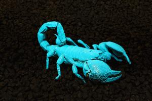 USA, California. Emperor scorpion under black light. by Jaynes Gallery