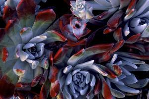 USA, California, Garrapata State Park. Red Leaf Succulent Plants by Jaynes Gallery